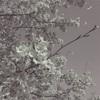 夜桜見物②