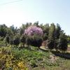 里山に咲く桜