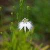 鷺草咲きました(2008)