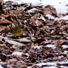 残雪の林の中のアオジ