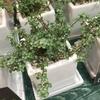 落ち着いた緑色の小さな葉っぱと赤い茎がおしゃれさん!ピレアグラウカ