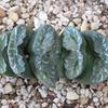 ハオルチア 玉扇3