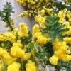 パーソナルカラーの春 ミモザの黄色♪