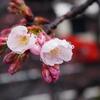 兼六園の椿寒桜が咲き始めました!