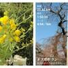 花と花を結ぶセット練│神戸町の菜の花~雲上の桜