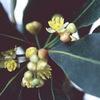 今日の誕生花「ボダイジュ」映画のタイトル菩提樹!三大聖樹じゃない!