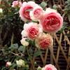 2008【無農薬でバラ栽培】ピエール・ドゥ・ロンサール