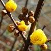 ロウバイが咲きました.本当の名前はソシン ロウバイ(素芯蝋梅) . 中国では「雪中の四花」の一つとして尊ばれているそうです.