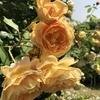 バラ栽培講座(14) 12月~2月(冬)の時期のお世話①
