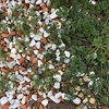 オルレアのこぼれ種から出た芽が成長しました!