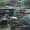 カワヒガイ Sarcocheilichthys variegatus variegatus
