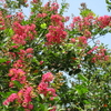 「まつこの庭」の夏の花(4)