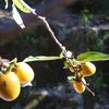 一枝の山柿