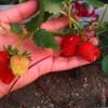 プランターのイチゴ収穫