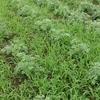 ニガヨモギ栽培3年目と2019年 挑戦