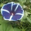 アサガオが立派だ、根性ある花だよな