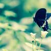 チョウの飛翔写真を撮る