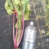 【ビーツ】いよいよ大きいサイズの収穫!!【家庭菜園】