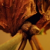P.Budsaba の貯水葉の新芽が出てきた