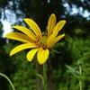 菊芋の黄色い花