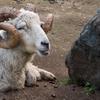 山羊の頭のスープ