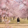 「北浅羽桜堤公園」今週末3/23,24に満開の埼玉県のお花見スポット
