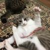 間に合わせのおもちゃde 激しく遊ぶ猫☆写真集