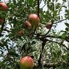 梨狩りにりんご狩り