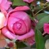 華やか初冬の薔薇活け