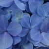 梅雨が苦手なので、せめて紫陽花を愛せる心を持ちたい。