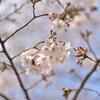 🌸桜を接写とぼかし撮影しました!