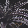 Dyckia 'Heaven and Hell' Bill Baker hybrid |6 months