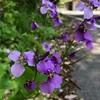 ムラサキダイコンや花菖蒲 散歩で知った季節の花