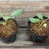 キャベツの水耕栽培に再挑戦。これまでの経験を使って今度こそ立派な玉を収穫したいです