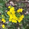 赤蕪 白蕪の黄色の花