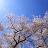 長野電鉄村山橋周辺の桜(2回目)