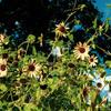 夏色の向日葵
