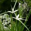 シラサギカヤツリの花 2013