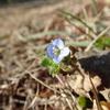 冬場に咲く花と言えば青色のオオイヌノフグリ