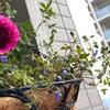 ベランダで咲く花達🌸