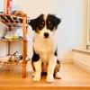 オーストラリアン・シェパード 子犬の体重について