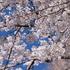 世の中いろいろあるけど、桜の季節ですね・・・