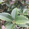 恵方巻。節分とクリスマスに大事な役割の木