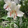 カサブランカも開花