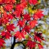 紅葉が無い奄美大島在住の私が初めて紅葉を見たとき
