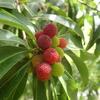 緑の中で光る赤い果実。