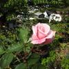 春芳の好い香り、早咲きのプリンス「リオサンバ」