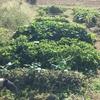 【オルかな農園報告⑰~たくさんとれたピーマンも終了、チンゲンサイを植えました~】