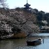 三渓園の桜は満開間近