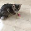 猫じゃらしを運搬するソマリ猫